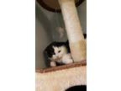 Adopt Prue a All Black Domestic Shorthair / Domestic Shorthair / Mixed cat in