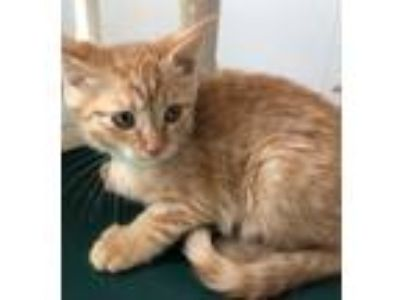 Adopt *CARLY a Orange or Red Tabby Domestic Shorthair / Mixed (short coat) cat
