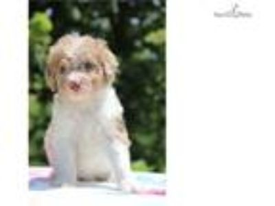 F1bb Sparky Parti Red Merle Flashy Soon