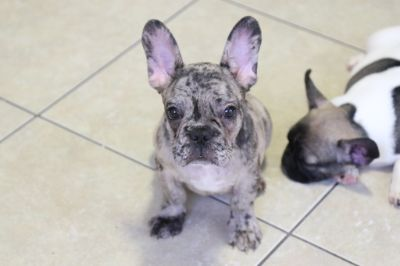 French Bulldog PUPPY FOR SALE ADN-95952 - Merle french bulldog puppy male
