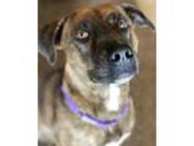 Adopt Gina a Brindle Boxer / Labrador Retriever / Mixed dog in Morton Grove
