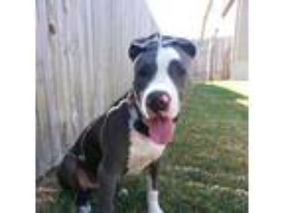 Adopt Josey a Gray/Silver/Salt & Pepper - with Black Pit Bull Terrier dog in San