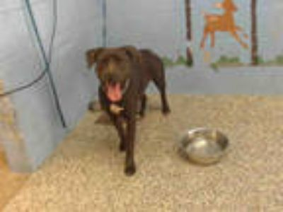 Adopt RESCUE ONLY a Black - with White American Pit Bull Terrier / Labrador