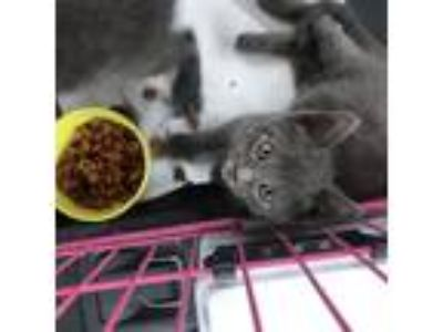 Adopt Kittens! a Gray or Blue (Mostly) Domestic Mediumhair cat in Las Vegas
