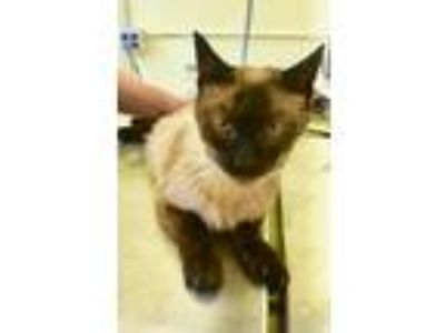 Adopt Isla a Cream or Ivory (Mostly) Siamese / Mixed (short coat) cat in Hudson