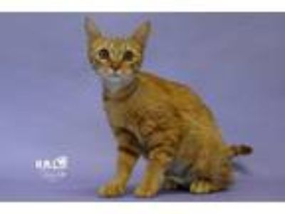Adopt Julia a Domestic Shorthair / Mixed (short coat) cat in Sebastian