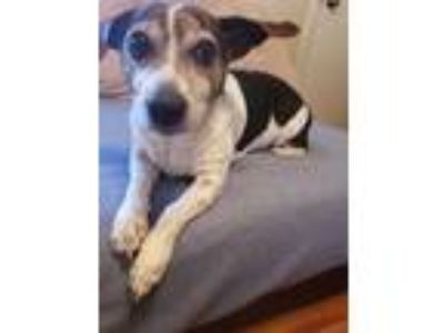 Adopt Reiko a White - with Brown or Chocolate Rat Terrier / Beagle / Mixed dog
