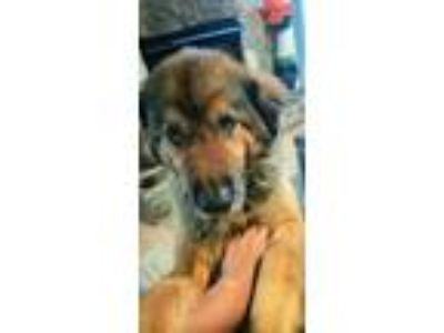 Adopt Cody a Tan/Yellow/Fawn - with Black German Shepherd Dog / Collie / Mixed