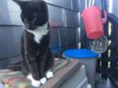 Adopt BARLEY a Tuxedo, Domestic Short Hair