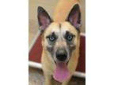 Adopt Mallory 21713 a Tan/Yellow/Fawn Belgian Malinois / Husky / Mixed dog in