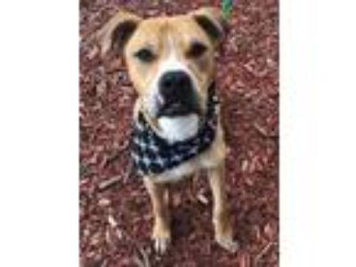 Adopt Parker a Tan/Yellow/Fawn Labrador Retriever / American Pit Bull Terrier /
