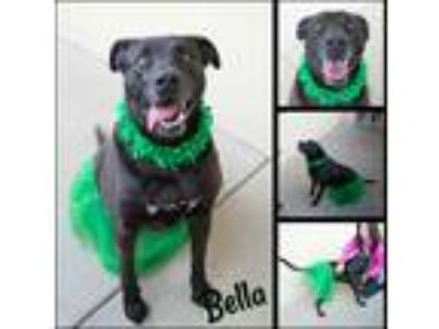 Adopt Bella a Black - with White Labrador Retriever / American Pit Bull Terrier
