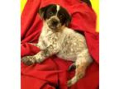 Adopt Missandei a White - with Black Blue Heeler / Labrador Retriever / Mixed