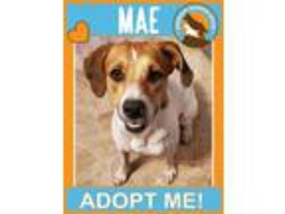 Adopt Mae a Tan/Yellow/Fawn - with White Pointer / Mixed dog in Portland