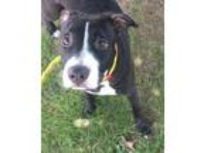 Adopt Jazzabelle a American Staffordshire Terrier, Pit Bull Terrier
