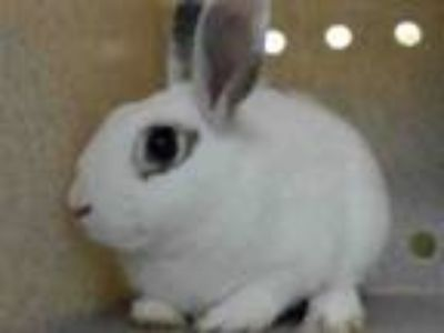 Adopt DURWOOD a Bunny Rabbit