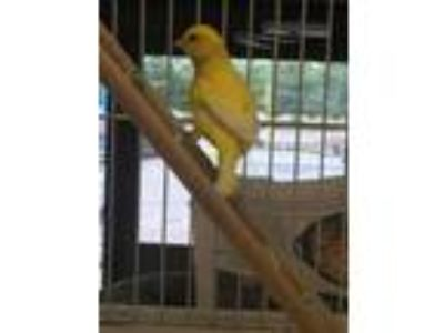 Adopt Tippy a Canary