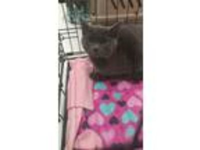 Adopt Leaper a Russian Blue, Domestic Short Hair