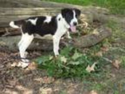 Adopt Philly a Black - with White Shepherd (Unknown Type) / Mixed dog in