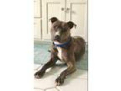 Adopt Skye a American Staffordshire Terrier, Labrador Retriever