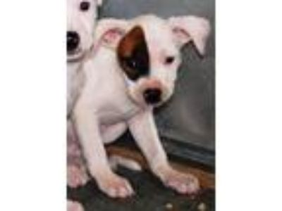 Adopt Petey a White - with Brown or Chocolate Mixed Breed (Medium) / Mixed dog