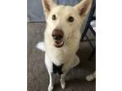 Adopt Samantha a White German Shepherd Dog / Husky dog in Hanford, CA (24960220)