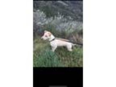Adopt Lady a Tan/Yellow/Fawn Shar Pei / Labrador Retriever / Mixed dog in