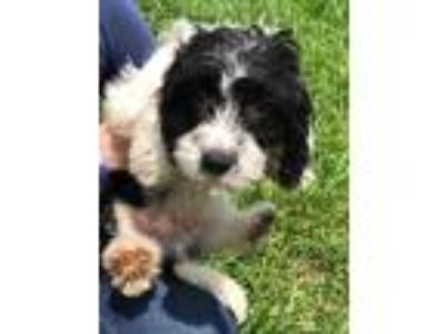 Adopt Arlo a Black - with White Cavalier King Charles Spaniel / Poodle