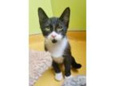 Adopt Speckle Baby a American Shorthair