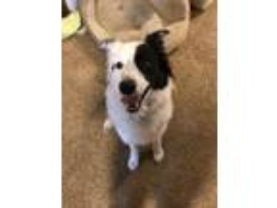 Adopt Zuko (Courtesy Listing from Louisville KY) a Border Collie