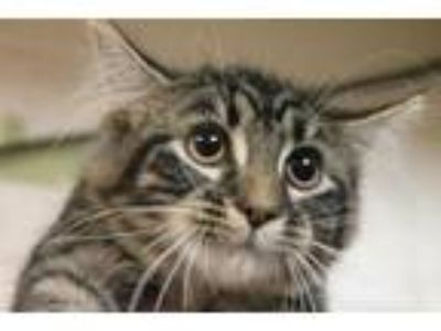 Adopt Lilly a Tan or Fawn Maine Coon / Domestic Shorthair / Mixed cat in Daytona