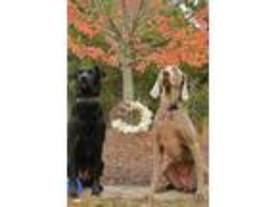Adopt Bandit a Black Labrador Retriever / German Shepherd Dog / Mixed dog in