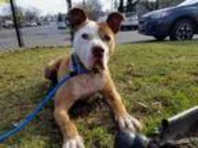 Adopt Brixx a Tan/Yellow/Fawn American Pit Bull Terrier / Mixed dog in Wantagh