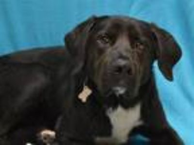 Adopt Dante a Labrador Retriever, Mixed Breed