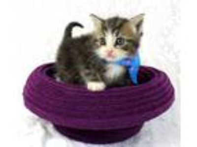 Adopt Hamish a American Shorthair