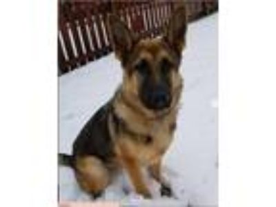 Adopt pixie a Tricolor (Tan/Brown & Black & White) German Shepherd Dog dog in