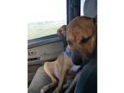 Adopt Ares a Red/Golden/Orange/Chestnut - with Black American Pit Bull Terrier /