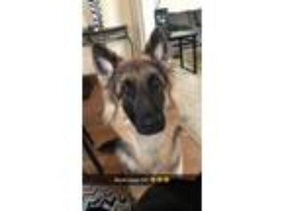 Adopt Anuk a Black - with Tan, Yellow or Fawn German Shepherd Dog dog in West
