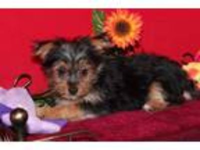 Fantastic Teacup Yorkie Puppies Available [phone removed]