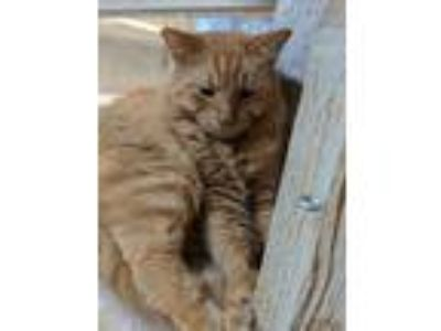 Adopt Big Red a Maine Coon, Domestic Short Hair