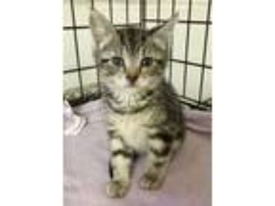 Adopt Gwendolyn a Gray, Blue or Silver Tabby Domestic Shorthair (short coat) cat