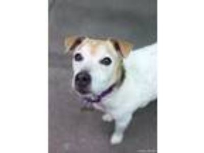 Adopt Lincoln a Jack Russell Terrier