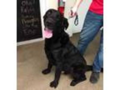Adopt Pluto a Black Labrador Retriever / Mixed dog in Terre Haute, IN (25069731)
