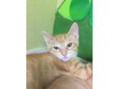 Adopt DAFFY a Orange or Red Domestic Shorthair / Domestic Shorthair / Mixed cat