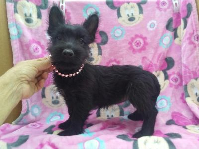 Minnie Female Scottish Terrier