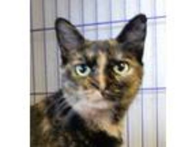 Adopt Amber a Tortoiseshell Domestic Shorthair (short coat) cat in