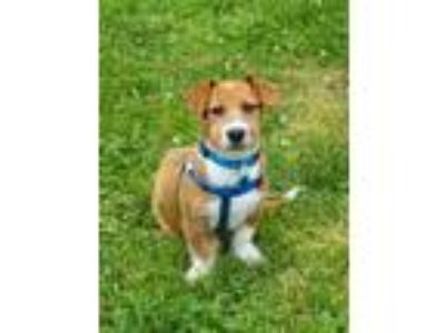Adopt Tyrese a Tan/Yellow/Fawn - with White Jack Russell Terrier dog in