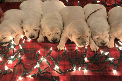 Golden Retriever Puppies - English