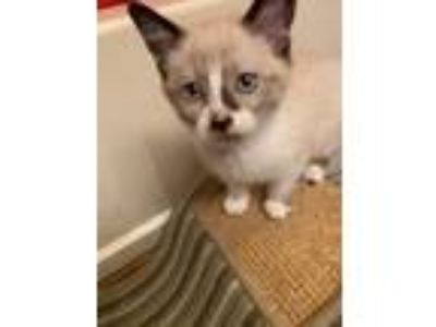 Adopt Kitten 1 a White (Mostly) Snowshoe (short coat) cat in Indianapolis