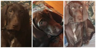 German Shorthaired Weimaraner PUPPY FOR SALE ADN-93577 - 6 month female GSP Weim